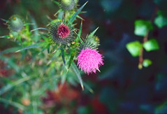 Thistle (Bephep2010) Tags: 2019 blume distel lomography lomographycolornegative400 olympus olympusafzoom35180mm145156 olympusis3 olympusis3000 photoexif schweiz solothurn sommer switzerland analog analogue flower green grün pink rosa summer thistle kantonsolothurn