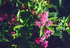 Pink Flower (Bephep2010) Tags: 2019 blume lomography lomographycolornegative400 olympus olympusafzoom35180mm145156 olympusis3 olympusis3000 photoexif schweiz solothurn sommer switzerland analog analogue flower green grün pink rosa summer kantonsolothurn