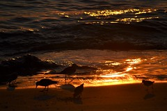 Sandpipers (KaDeWeGirl) Tags: maryland oceancity beach shore bay sandpipers sunset silhouette birds shadows explore