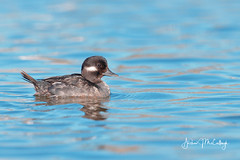 Female Bufflehead Duck (Let there be light (A.J. McCullough)) Tags: bufflehead duck oregon birds upperklamathlake putnamspoint klamathfalls featheryfriday