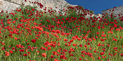 Field of poppies (Leaning Ladder) Tags: vieste italy italia puglia apulia poppies flowers red canon 7d mkii 7dmkii leaningladder