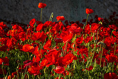 Poppies (Leaning Ladder) Tags: vieste italy italia puglia apulia poppies flowers red canon 7d mkii 7dmkii leaningladder