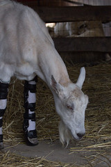 IMG_9544 (lacygentlywaftingcurtains) Tags: farmsanctuary watkinsglen farmanimal cc creativecommons goats legsplints abused cruelty rescue