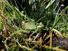 Monday's frog (EcoSnake) Tags: americanbullfrog lithobatescatesbeiana frogs amphibians water wildlife august summer idahofishandgame naturecenter