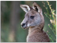 Kangaroo (Bear Dale) Tags: kangaroo ulladulla southcoast new south wales shoalhaven australia beardale lakeconjola fotoworx milton nsw nikond850 photography framed nature nikon nikkor afs 200500mm f56e ed vr d850 naturephotography naturaleza fur bokeh dof depthoffield