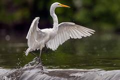 GotMyFeetWet (jmishefske) Tags: dam d850 nikon burlington echolake wisconsin august water wings egret 2019 great bird