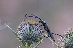3-Muskussikk; Aromia moschata (urmas ojango) Tags: mardikalised coleoptera insects insecta beetles putukad muskussikk aromiamoschata