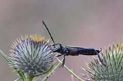 2-Muskussikk; Aromia moschata (urmas ojango) Tags: mardikalised coleoptera insects insecta beetles putukad muskussikk aromiamoschata