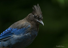 Lady, did you forget something (lamoustique) Tags: stellersjay geaidesteller cyanocittastelleri salmoncreek vancouver washington usa