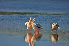 That's An Improper Gomukhasana Pose (Michiale Schneider) Tags: pelican white bird nature water dingdarlingwildliferefuge sanibelisland florida michialeschneiderphotography