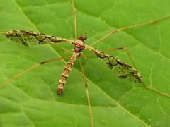 Spectacled Crane Fly (treegrow) Tags: rockcreekpark washingtondc nature lifeonearth raynoxdcr250 arthropoda insect diptera fly limoniidae epiphragmasolatrix
