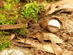 Wolf Spider (treegrow) Tags: rockcreekpark washingtondc nature lifeonearth raynoxdcr250 arthropoda arachnida araneae lycosidae