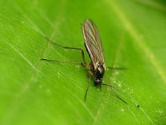 Sciarid Midge (treegrow) Tags: rockcreekpark washingtondc nature lifeonearth raynoxdcr250 arthropoda insect diptera fly sciaridae