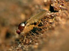 Mycodrosophila (treegrow) Tags: rockcreekpark washingtondc nature lifeonearth raynoxdcr250 arthropoda insect diptera fly drosophilidae mycodrosophilaclaytonae