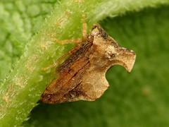 Treehopper (treegrow) Tags: rockcreekpark washingtondc nature lifeonearth raynoxdcr250 arthropoda insect hemiptera membracidae entyliacarinata