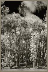 Fort Lane Park IR #4 2019; Palm & Oak Grove (hamsiksa) Tags: plants flora subtropical hardwoodpalmhammock hammocks oaks wateroaks quercusnigra fagaceae palms palmae cabbagepalm sabalpalm sabalpalmetto florida centralflorida seminolecounty saintjohnsriver lakeharney landscape blackwhite infrared digitalinfrared