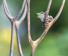 Hello there! (marianna armata) Tags: grey tree frog canada quebec macro coral bokeh sdof green mariannaarmata frogs cute little tiny wild montreal