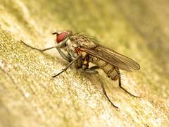 Root-maggot Fly (treegrow) Tags: rockcreekpark washingtondc nature lifeonearth raynoxdcr250 arthropoda insect diptera fly leucophora anthomyiidae