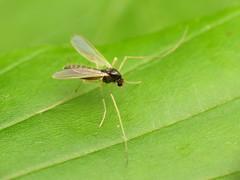 Midge (treegrow) Tags: rockcreekpark washingtondc nature lifeonearth raynoxdcr250 arthropoda insect diptera fly chironomidae polypedilum