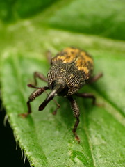 Flower Weevil (treegrow) Tags: rockcreekpark washingtondc nature lifeonearth raynoxdcr250 arthropoda insect beetle coleoptera curculionidae glyptobarislecontei