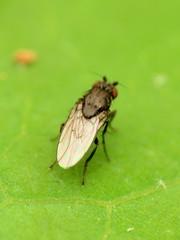 Lesser Dung Fly (treegrow) Tags: rockcreekpark washingtondc nature lifeonearth raynoxdcr250 arthropoda insect diptera fly sphaeroceridae leptocera