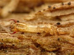 Limoniid Exuviae (treegrow) Tags: rockcreekpark washingtondc nature lifeonearth raynoxdcr250 arthropoda insect diptera fly limoniidae