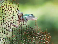 a fine balancing act (marianna armata) Tags: frogs cute little tiny wild montreal greytreefrog frog amphibian canadian canada mariannaarmata green young