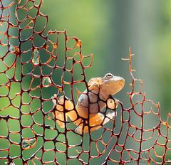 frog jungle-gym (marianna armata) Tags: frogs cute little tiny wild montreal greytreefrog canada mariannaarmata macro nature amphibian
