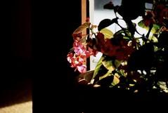fujichrome (bluebird87) Tags: red flower fujichrome epson v600 nikon f100 dx0