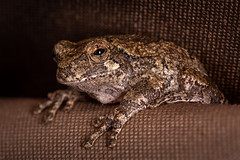 Gray Treefrog (sethjschubert) Tags: graytreefrog amphibian frog wildlife nature treefrog animal wildoklahoma bestofwildoklahoma2019