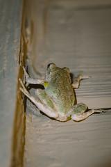 A7_02898 (TeeHeeHaw) Tags: frog a7iii amphibian sony