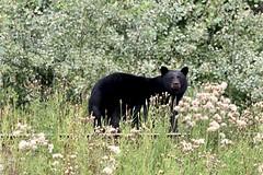 Canada - Bear (Jarco Hage) Tags: canada byjarcohage bear beer bears black zwarte beren outside nature natuur animal animals dieren