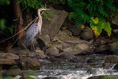 Hideaway (jmishefske) Tags: dam d850 nikon wisconsin burlington echolake bird august wings heron great 2019 blue water
