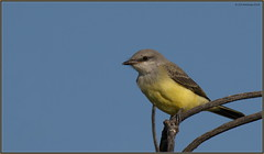 WesternKingbird_7DMK2_TamrG2 (CrzyCnuk) Tags: westernkingbird kingbird birds wildlife nature alberta canada canon7dmarkii tamron150600mmg2