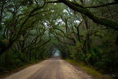 Mist and Mystery (John C. House) Tags: everydaymiracles nik dirtroad nikon mystery southcarolina epiphytes palmettopalm johnchouse resurectionplant edisto morning d810 liveoaks mist