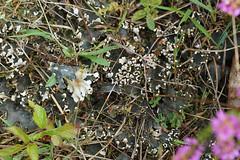 Kaal Leermos - Peltigera hymenina (henk.wallays) Tags: rodedopheidereservaat peltigerahymenina aaaa inat