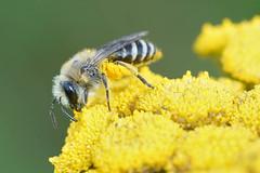 Wormkruidbij-complex - Colletes daviesanus/fodiens/similis (henk.wallays) Tags: hymenoptera colletesspecies arthropoda colletidae aaaa nature bees colletes inat insect