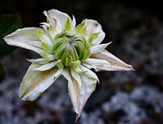 Unfolding Clematis 232 of 365 (Year 6) (bleedenm) Tags: fujixt3 west lynnworkshop 2019 flowers macro may oregon portland rodgersonclematisgarde