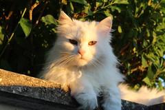 Chat sous la lumière (Potographe) Tags: chat cat white blanc animal arbre tree sunset coucherdesoleil lumière light regard