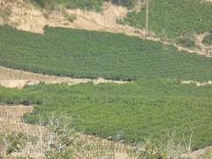 Αμπέλια!!  P1080725 (amalia_mar) Tags: vineyards green country village fteri achaia greece nature colorfulnature greentuesday sundaylights
