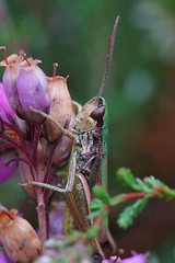 Krasser - Pseudochorthippus parallelus (henk.wallays) Tags: acrididae orthoptera chorthippus arthropoda chorthippusparallelus rodedopheidereservaat aaaa nature insect henkwallays krasser orthoptères veldsprinkhanen closeup cricket grasshopper macro natuur sauterelle schrecke sprinkhaan sprinkhanen veldsprinkhaan wildlife inat