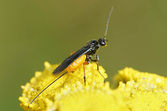Braconidae species (henk.wallays) Tags: braconidaespecies inat aaaa