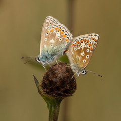 Photo of Common blue butterflys
