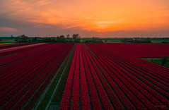 Somebody ordered a red tulip. (Alex-de-Haas) Tags: dji dutch eenigenburg europa europe fc6310 holland krabbendam nederland nederlands netherlands noordholland p4p phantom phantom4 phantom4pro westfrisia westfriesland westfrieseomringdijk aerial aerialphotography agriculture akkerbouw beautiful beauty bloemen bloemenvelden boerenland bollenvelden bulbfieldsflowerfields farmland farming flowers landbouw landscape landscapephotography landschaft landschap landschapsfotografie lente lucht luchtfotografie mooi polder pracht quadcopter schoonheid skies sky spring sundown sunset tulip tulips tulp tulpen zonsondergang sintmaarten northholland