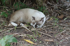 Pointed Cat (Flexible Negativity) Tags: 猫 cat 貓 meow ねこ caturday nuko k70 pentax pointedcat