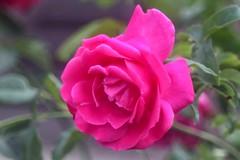Caprise de Meilland     Boyer Paris Saphir <<B>> 100mm F 4.5 (情事針寸II) Tags: flower macro nature rose bokeh rosegarden oldlens kasteelcoloma boyerparissaphirb100mmf45 macrodreams