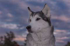 Aurora (Cruzin Canines Photography) Tags: animal animals aurora canon canoneos5ds canon5ds canine 5ds eos5ds dog dogs pet pets husky huskies alaskanhusky siberianhusky outdoors outside nature naturepreserve gardenofthegods colorado coloradosprings sunset sundown
