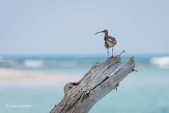Perch with a view 501_9011.jpg (Mobile Lynn) Tags: waderswetlandbird birds perched whimbrel nature bird fauna numeniusphaeopus wader wetland wetlandbirds wildlife seychelles