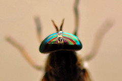 Striped Eye of a  Female Horse Fly (Tabanus lineola) (natureloving) Tags: stripedeye femalehorsefly tabanuslineola insect macro nature fly natureloving nikon d90 afsvrmicronikkor105mmf28gifed animalplanet