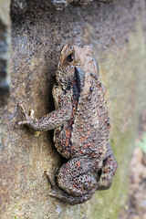 Korean Water Toad (RoosterMan64) Tags: amphibian closeup koreanwatertoad macro nature southkorea toad wildlife